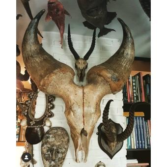 Zeer zeldzaame schedel van Kouri rund