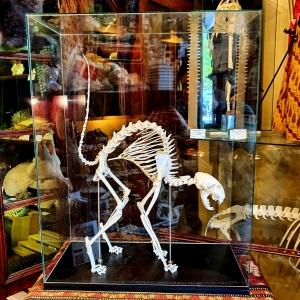 Museum Kwalitatief Skelet Kat