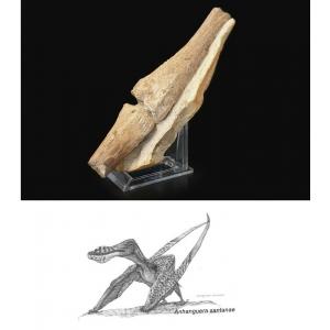 Zeldzaam! Vleugelbotten Vliegende Sauriër, Pterosauriër