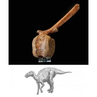 Dinosaurus Wervel Edmontosaurus