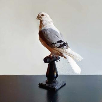 Opgezette duif Op Sokkel