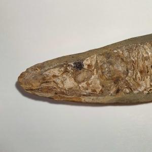 Prachtig fossiel van een vis in Matrix, Vinctifer comptomi