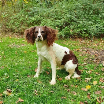 Prachtige Opgezette ''Staande'' Hond (Jachthond)