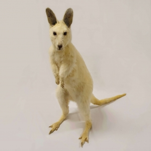 Opgezette albino wallaby, Bennet