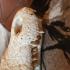 Schedel Siamese krokodil 53cm!